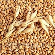 Пшеница продажа фото