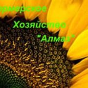 Подсолнечник Армада КЛ фото