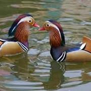 Утки-мандаринки фото