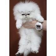 Персидские шиншиллы, котята фото