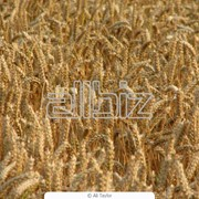 Пшеница оптом по низким ценам фото