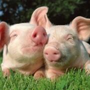 Свиньи породы красная белопоясая, хряки, молодняк, породистые поросята, продажа, Полтавская область, Украина фото