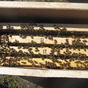 Пчелопакеты из Пасека Деркача фото