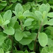 Культуры эфиромасличные травянистые фото