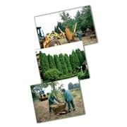 Посадка крупномерных деревьев: фото