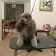 Стрижка собак гигиеничная фото