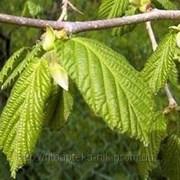 Лещина лист 50гр фото