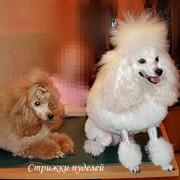 Стрижка собак породы пудель и йоркширский терьер фото