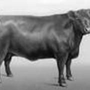 Скот крупный рогатый племенной (КРС) фото