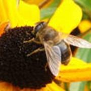 Пчелопакеты и пчеломатки «Карпатской» породы фото