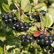 Саженцы черноплодная рябина Арония фото