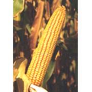Семена кукурузы ЗПСК 434 фото
