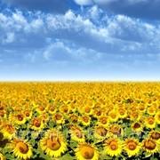 Совместное производство семян подсолнечника фото