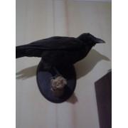 Ворон-крук фото