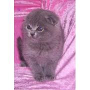 Продажа котят шотландской вислоухой фото