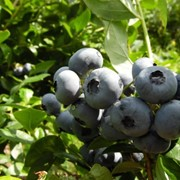 Ягоды голубики высокорослой(садовой). фото