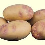 Картофель сорт Пикассо фото