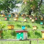 Пчеломатка плодная Закарпатье, Украина фото