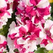 Семена цветов петунии Пируэт F1 100 шт. драже розовый пикотэ фото