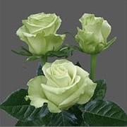 Розы белые, сорт Всемирный, WHITE Roses, Mondial, плантация Agrinag, Эквадор фото