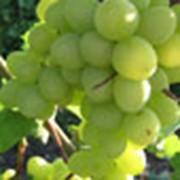 Виноград столовых сортов фото