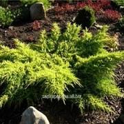 Можжевельник Juniperus x media Goldkissen фото