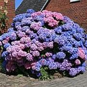 Гортензия макрофила Букет Роуз (Hydrangea macrophylla 'Bouquet Rose') фото