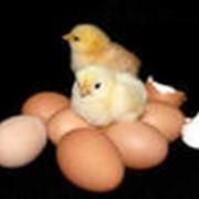 Услуги по инкубации птиц фото