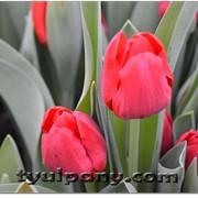 Сорт тюльпана ILE DE FRANCE фото
