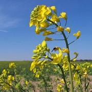 Рапс Brassica napus фото