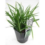 Осока морроу -- Carex morr. фото