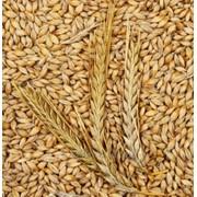 Семена ярового ячменя фото