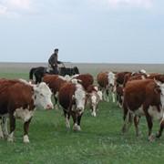 Племенной крупно-рогатый скот фото