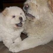 Продажа породистых собак фото