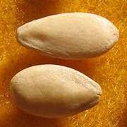 Семена голландские огурца фото