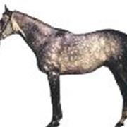 Лошади племенные, Английская верховая фото
