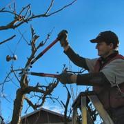 Весняна обрізка плодового саду фото