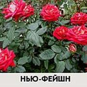 Роза Нью Фейшн фото