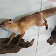 Чучело лисы фото