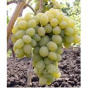 Виноград Мускат Италия в Молдове фото
