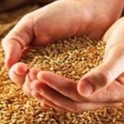 Переработка проса, переработка сельхозпродукции, переработка зерновых на крупу, переработка зерна, зерно, закупка зерна, переработка зерна на крупу, Украина фото
