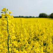 Закупаем рапс, Закупаем зерновые культуры по все Украине. фото