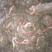 Дождевые черви фото