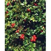 Заготовка лекарственного сырья,плодов и ягод.сушение фото