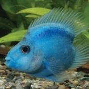 Рыбка аквариумная Синий бесхвостый попугай фото