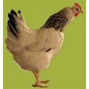 Несушка курица 2х-месячная фото