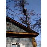 Удаление опасно-аварийных деревьев  фото
