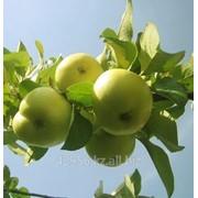 Саженцы яблонь Колоннообразная Крупный Викинг (бирка №67) фото