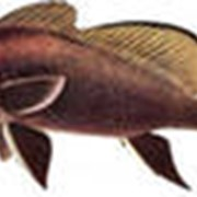 Рыба горбыль фото