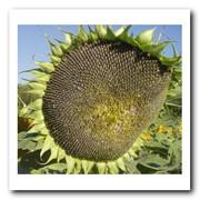 Семена подсолнечника Лиман Премиум фото
